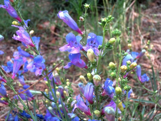 Irredescent penstemon