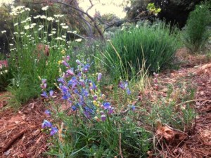 penstemon, ox-eye daisies and lavender, mulched with pine needles