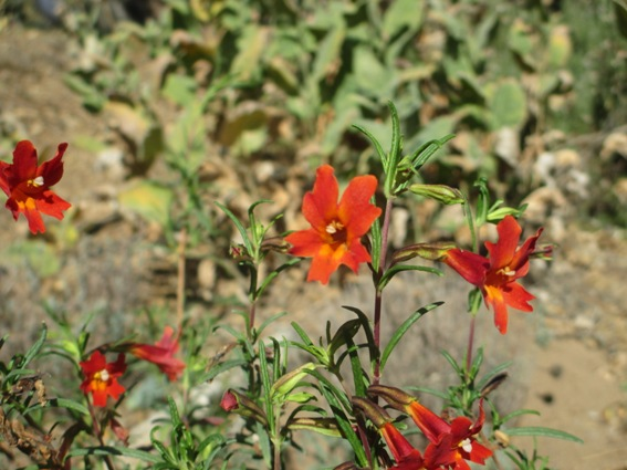 Monkey flower, Mimulus alatus 'Curious Orange'