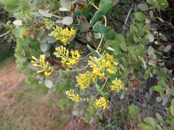 Chaparral Honeysuckle, Lonicera interrupta