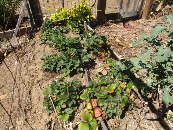 Last year's strawberries in the Hugelgarten are looking well after just a few meager Winter rains
