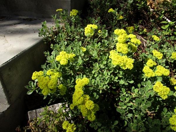 Sulfur Buckwheat 'Shasta'