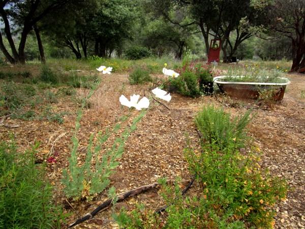 The dry garden with Matillija poppy, buckwheat