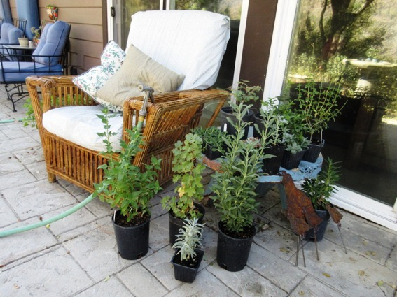 My purchases,...plants and rusty quail