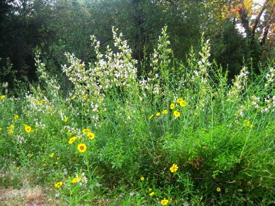 Keckiella breviflora, Bush Beardtongue