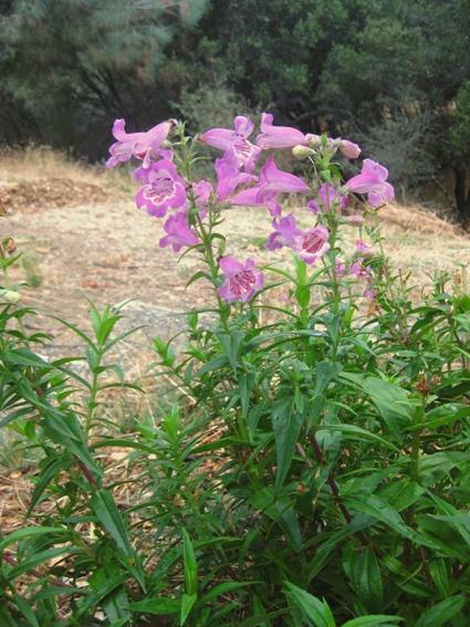 Penstemon 'Lavender Ruffles'