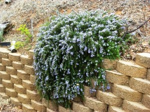 Creeping Rosemary, Rosmarinus officinalis 'Prostratus'