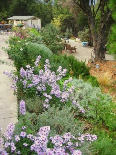 Border of Asters, Lavender, Rosemary and Artemisia
