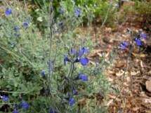 Blue Oak Sage