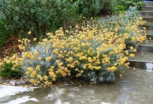 Helichrysum 'Icicles'