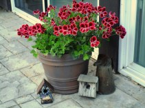 Martha Washington geraniums will bloom until first frost if you keep deadheading