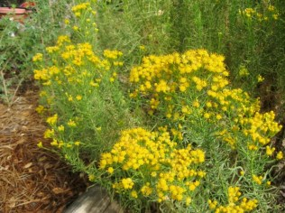 Native Golden fleece blooms in late Fall