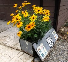 Black-eyed Susans in a toolbox planter in September