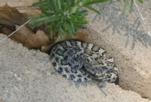 Baby Northern Pacific Rattlesnake Crotalus oreganus oreganus