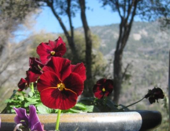 Coppery Viola 'Red Blotch'