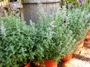 Fluffy catmint