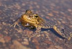 Yellow Legged Frog