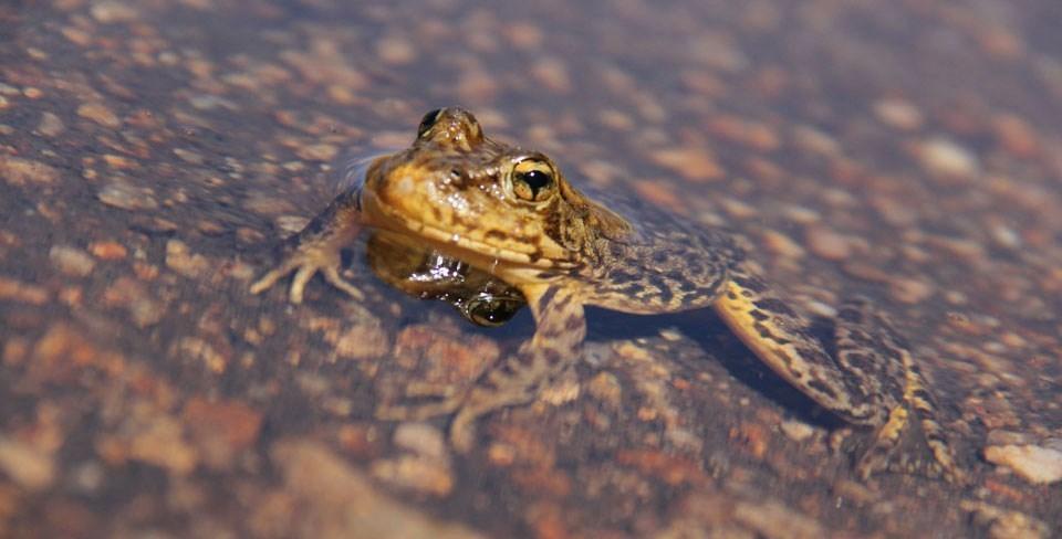 Yellow Legged Frog