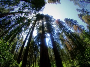 Calaveras Big Trees Sky line