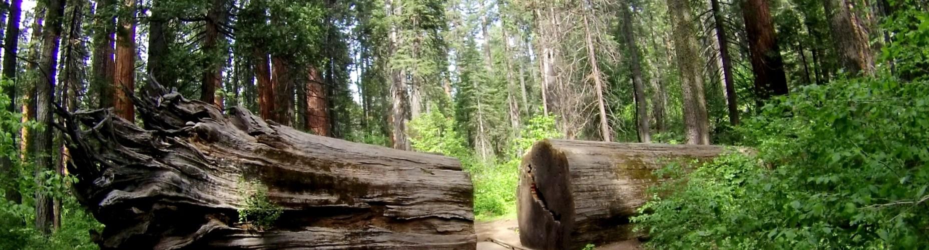 Calaveras Big trees park ca Trail