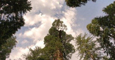 grant grove looking up NPS