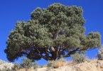 pinyon pine CC BY-SA 3.0 wikipedia