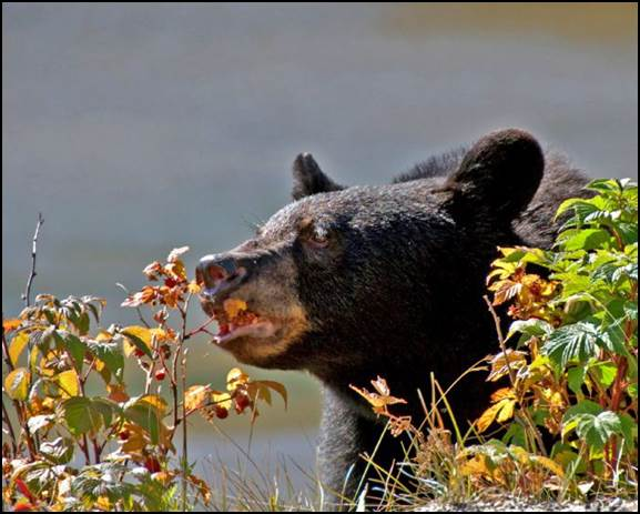 Photo caption: A black bear dines on berries, a natural food source. Photo credit: Nevada Department of Wildlife.