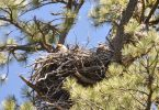 Eagle and Baby 052018 Winegar