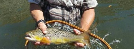 Brown Trout on the Lower Owens River 2018