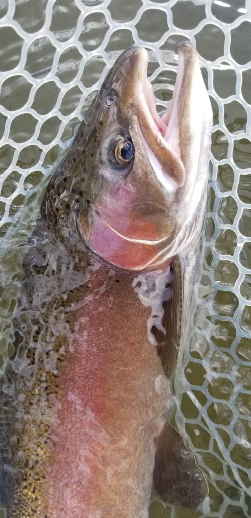 large trout head in a rubber net with a wooden frame