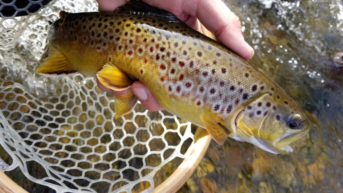 brown trout held up on the Lower Owens near Bishop California