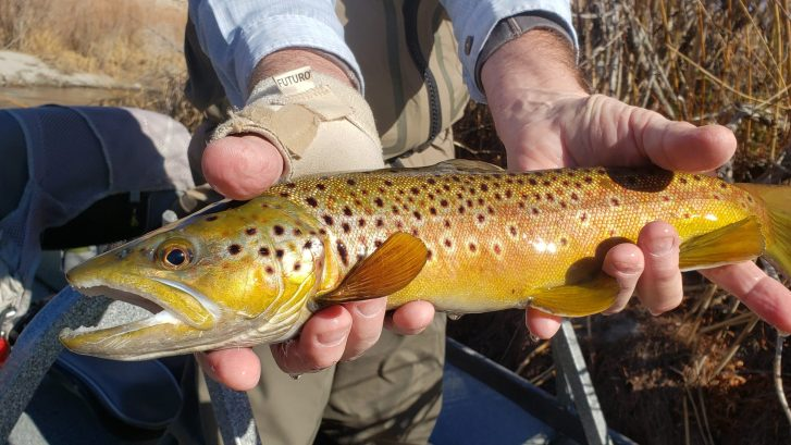 wild brown trout held over the lower owens river near bishop california caught while fly fishing