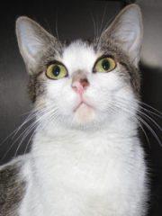 SYLVIA  white & tabby cat