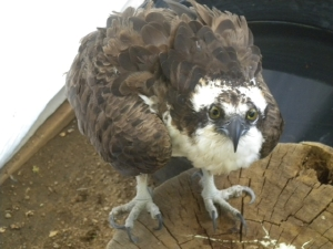 Osprey tangled in fishing line and hooks, released.