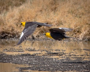 A pair of Yellow Headed Blackbirds in flight on the Owens Lake. Photo by Robin Black