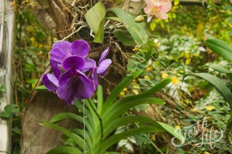 Лоро-парк: синяя орхидея