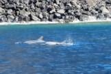 spinner dolphins kealekekua bay hawaii 1