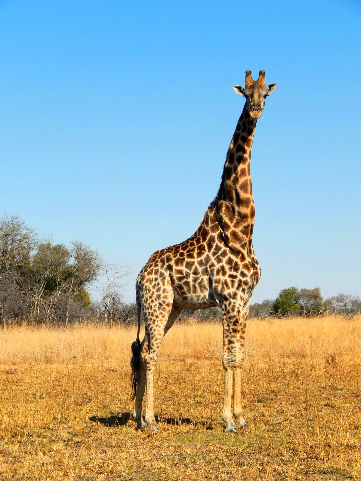 10 Interesting Facts About Giraffes