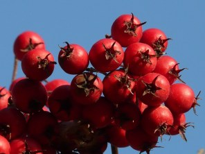 berries-10731_640