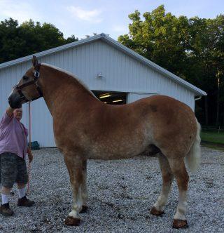 Pete, a 2900lb Belgian pulling horse wasn't sweating until Henry Hawkins tried Equiwinner.