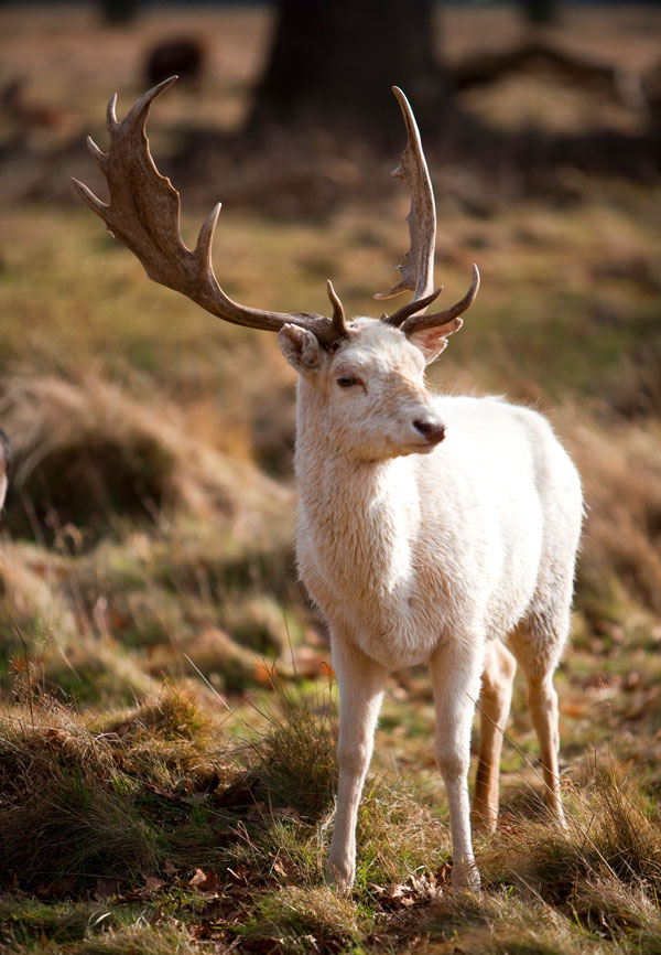 Symbolic Meaning Of The White Buck On What Your Sign