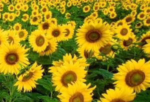 el amarillo en la naturaleza