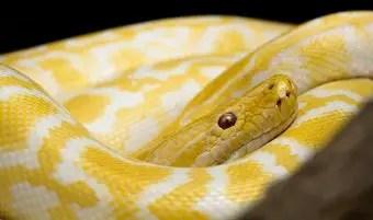 que-significa-sonar-serpiente-amarilla-blanca