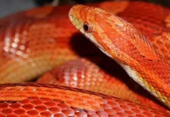 que-significa-sonar-serpiente-culebra-color-naranja