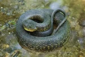 significado-sonar-serpiente-culebra-color-verde-oscuro