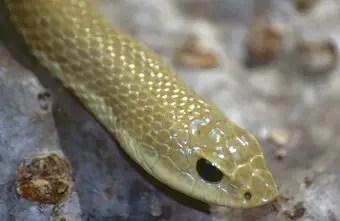 que-significa-sonar-serpiente-dorada-de-oro