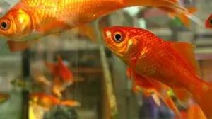que-es-significa-sonar-pez-peces-pescados