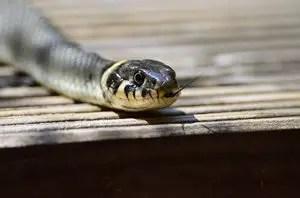que-significa-sonar-pica-serpiente-veneno