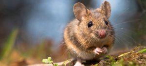 rato pequenp