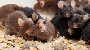 ratos na gaiola